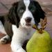 pear_dog